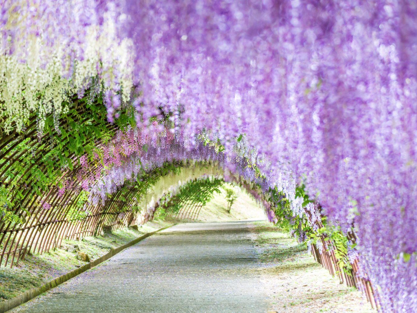 Japan Trip Ideas tree grass green outdoor purple vegetation flower plant english lavender lavender flora spring field sky landscape grass family shrub