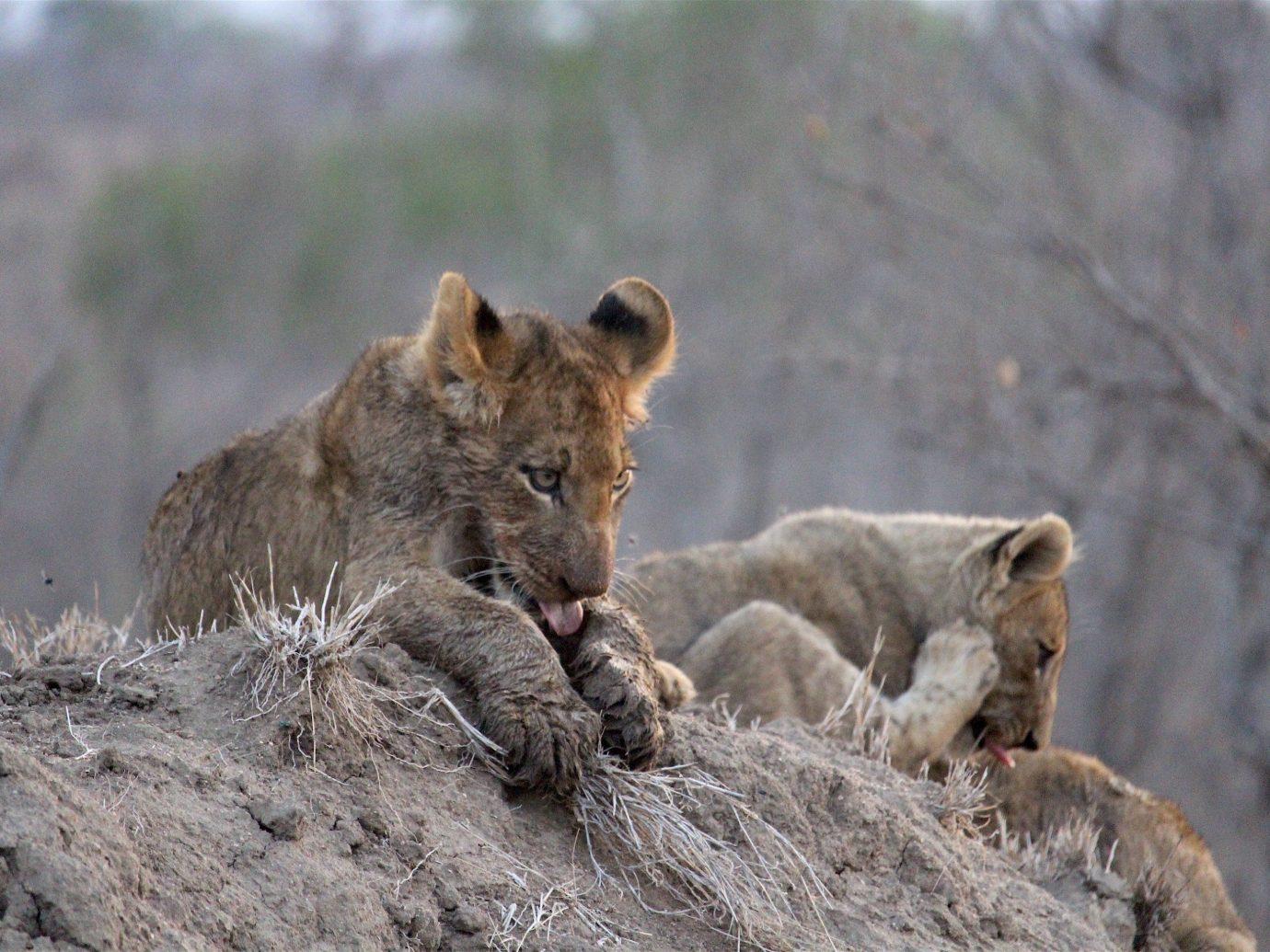 Outdoors + Adventure Safaris Trip Ideas animal Lion big cat mammal outdoor Wildlife vertebrate fauna rock brown Safari