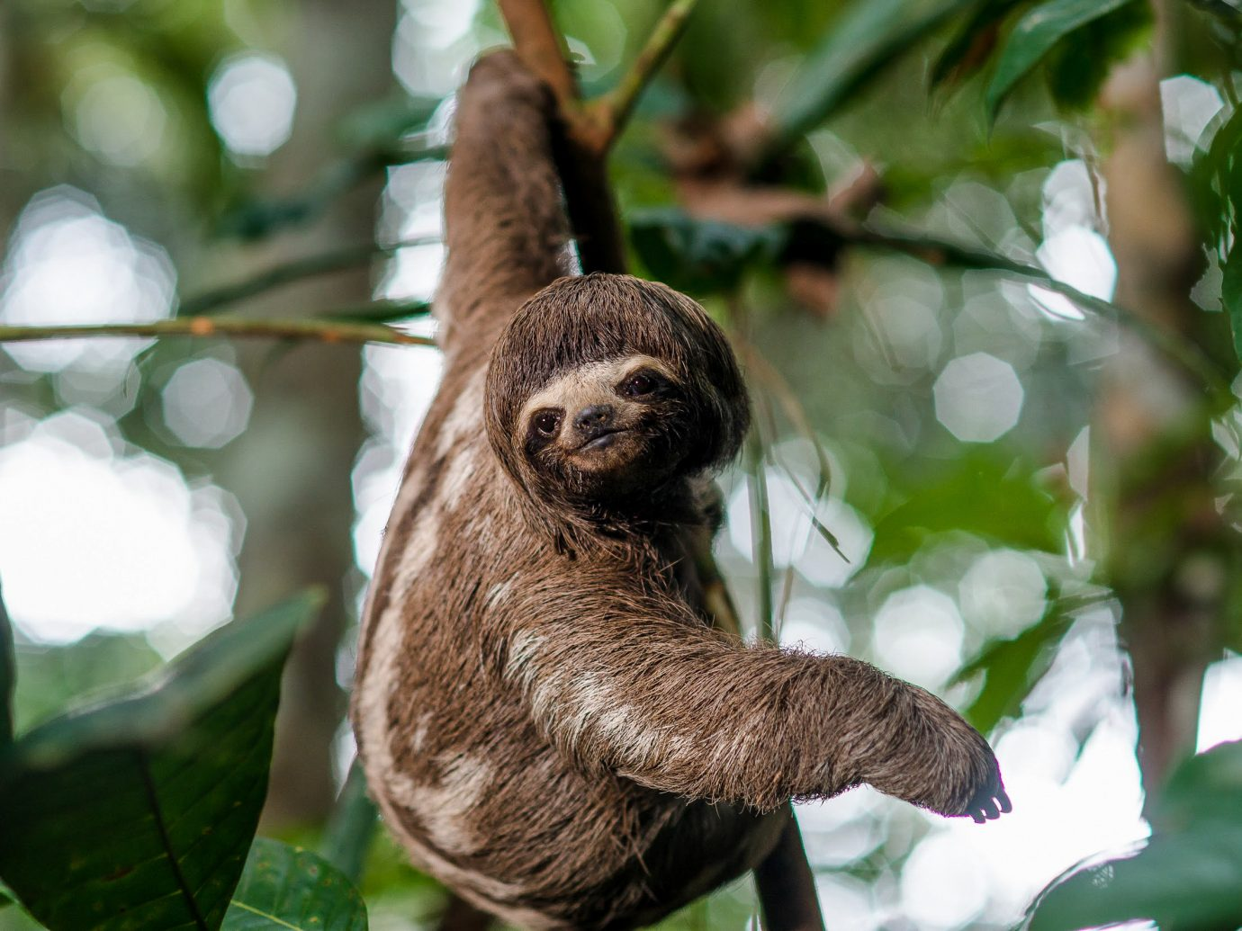 Cruise Travel Luxury Travel Outdoors + Adventure Travel Tips Trip Ideas tree sloth animal mammal outdoor fauna three toed sloth terrestrial animal leaf organism rainforest Jungle branch Wildlife snout