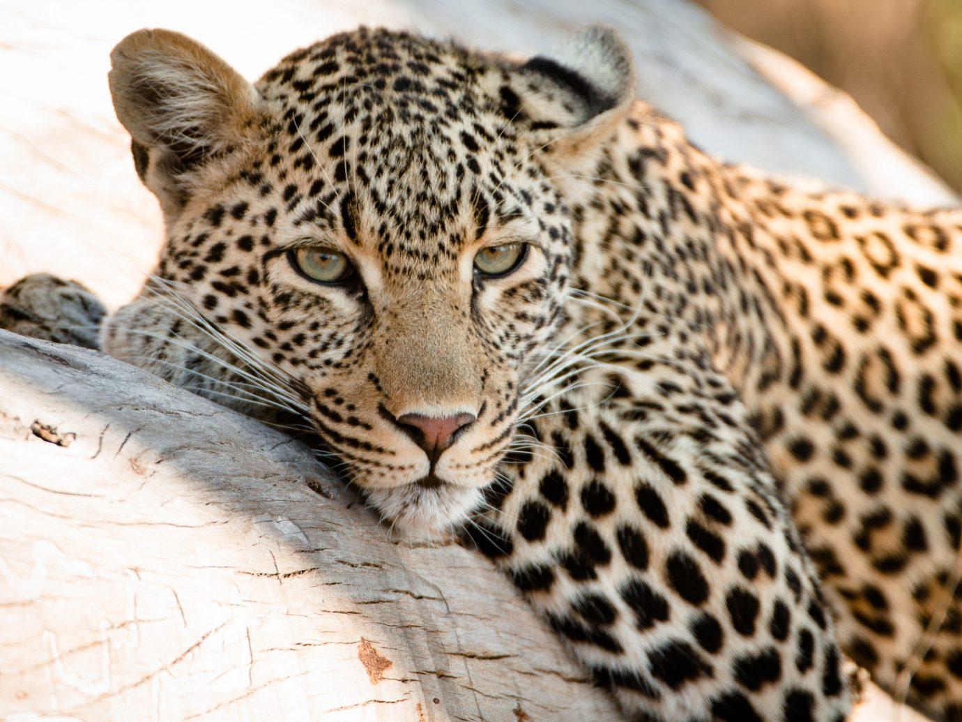 Offbeat Safaris animal mammal big cat outdoor leopard vertebrate fauna Wildlife cat like mammal close up whiskers big cats