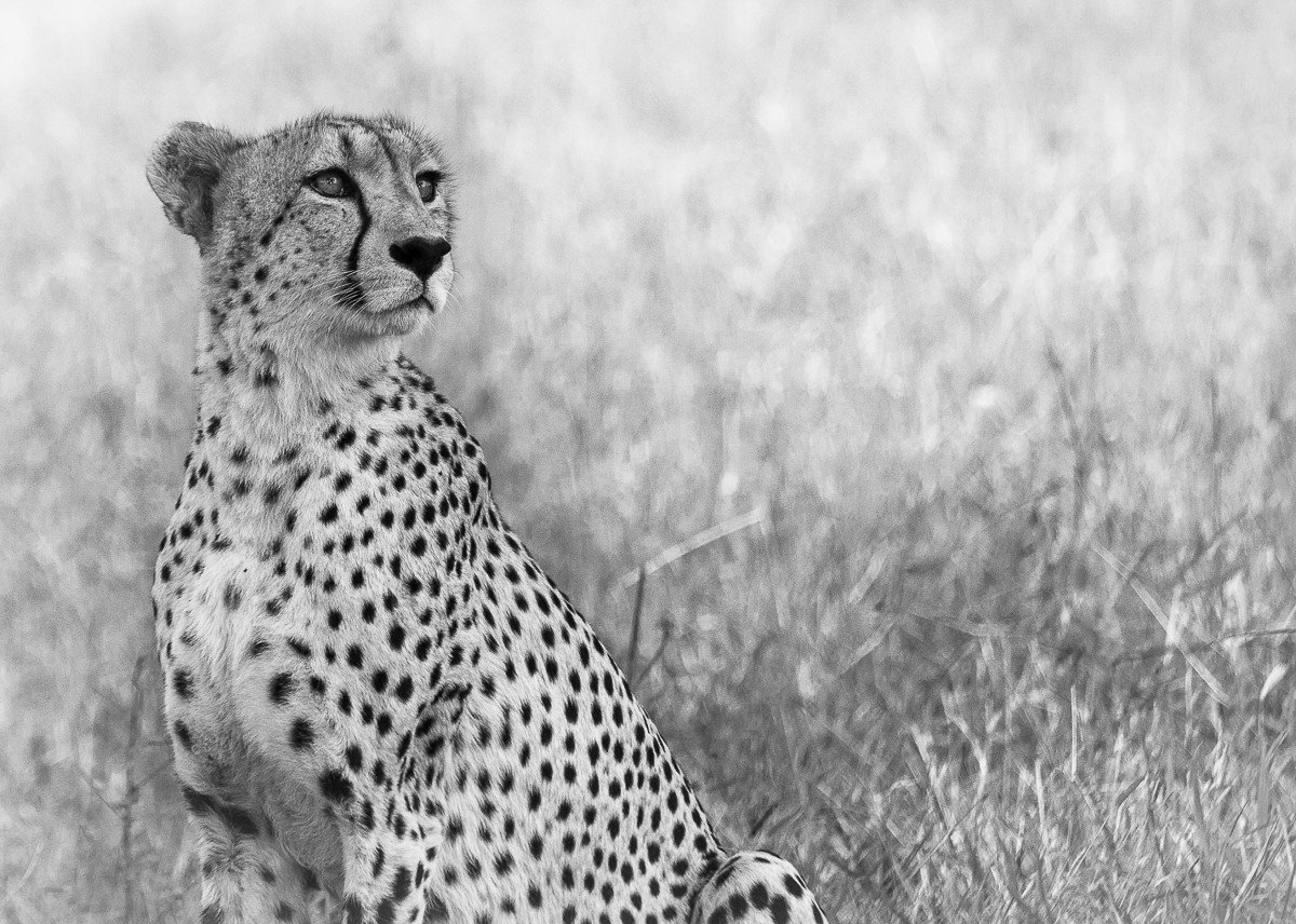 Trip Ideas grass big cat animal mammal outdoor cheetah field black and white vertebrate Wildlife fauna standing whiskers monochrome photography cat like mammal monochrome tall small to medium sized cats