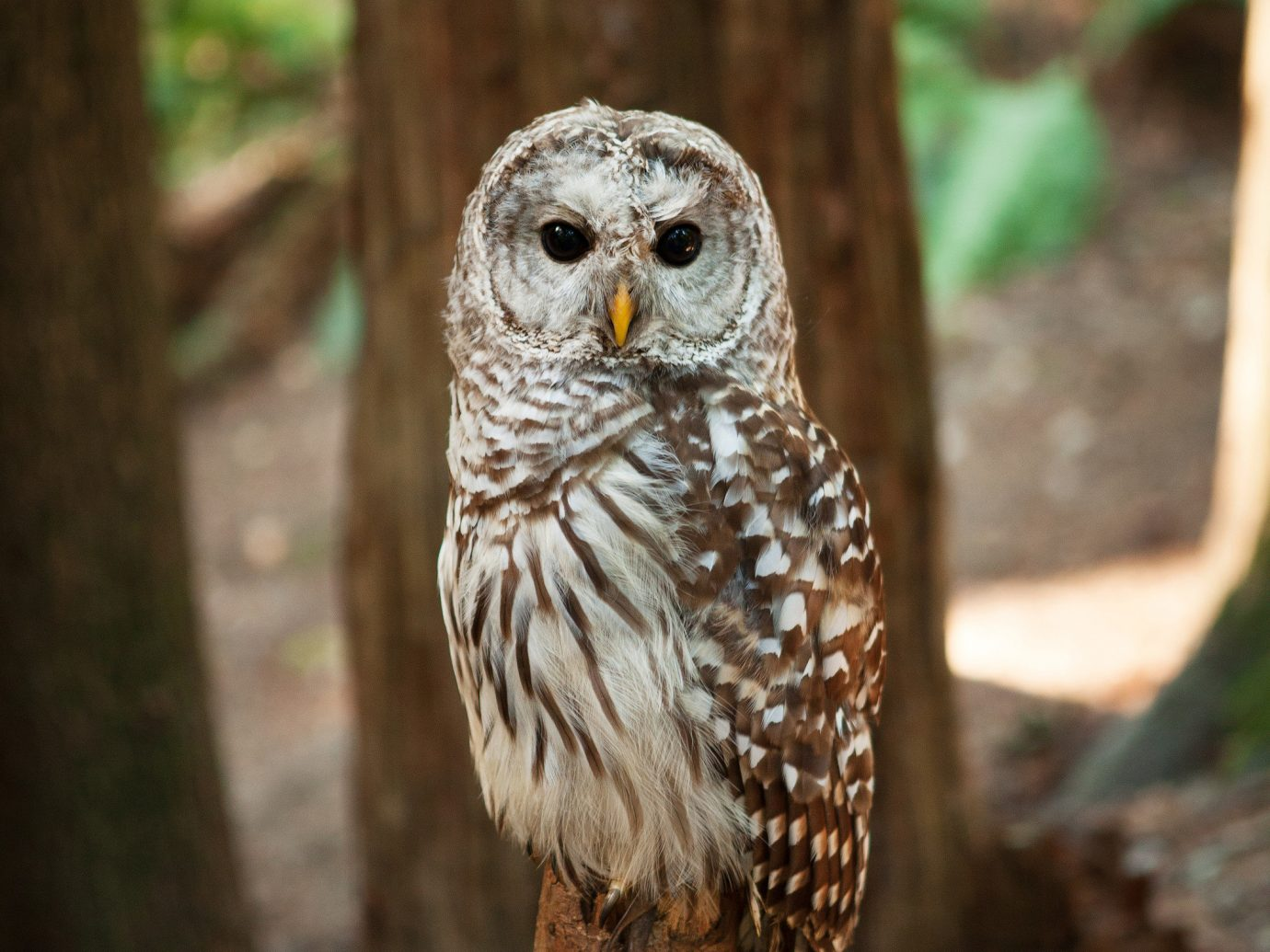 Trip Ideas tree owl bird of prey outdoor Bird animal Nature beak vertebrate Wildlife fauna zoo wood close trunk stone