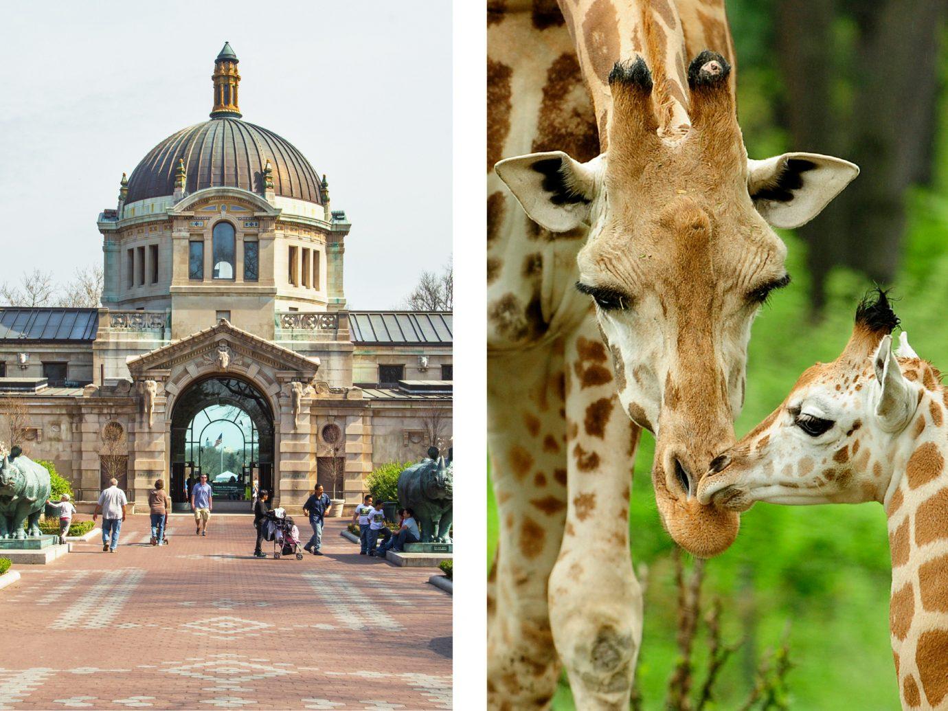 Budget outdoor ground fauna giraffe giraffidae zoo mammal