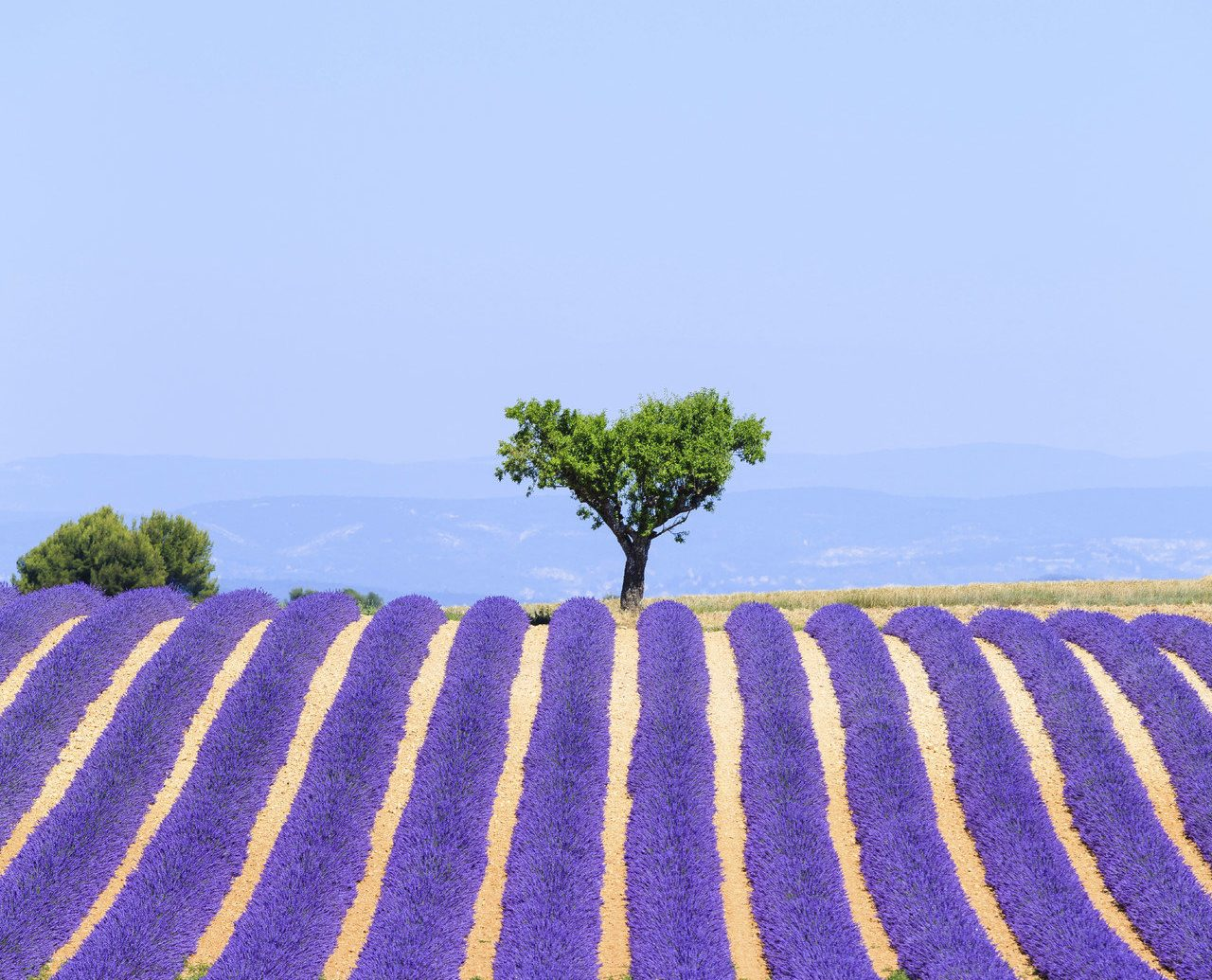 Trip Ideas sky plant outdoor flower lavender field agriculture ecosystem land plant soil flowering plant grass family english lavender crop colorful colored
