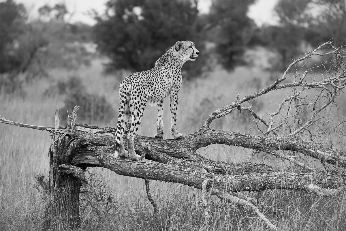 Trip Ideas tree outdoor big cat animal mammal grass black and white fauna standing monochrome photography Wildlife monochrome cat like mammal branch big cats cheetah trunk