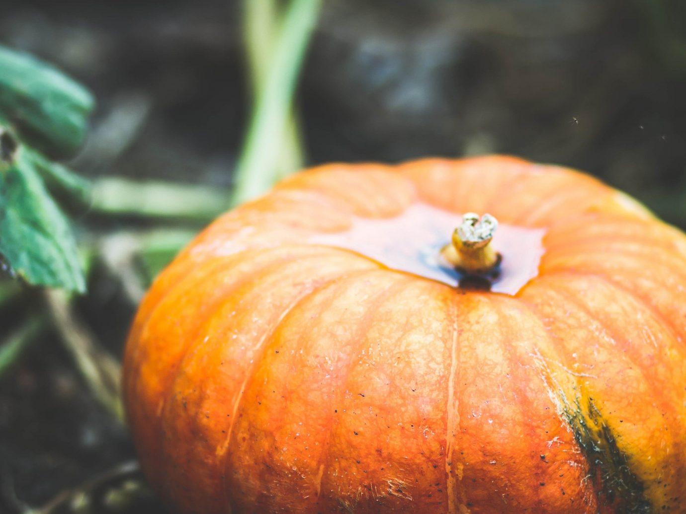 Trip Ideas squash fruit plant pumpkin winter squash close up calabaza macro photography produce autumn land plant leaf flower food cucurbita gourd plant stem vegetable flowering plant close