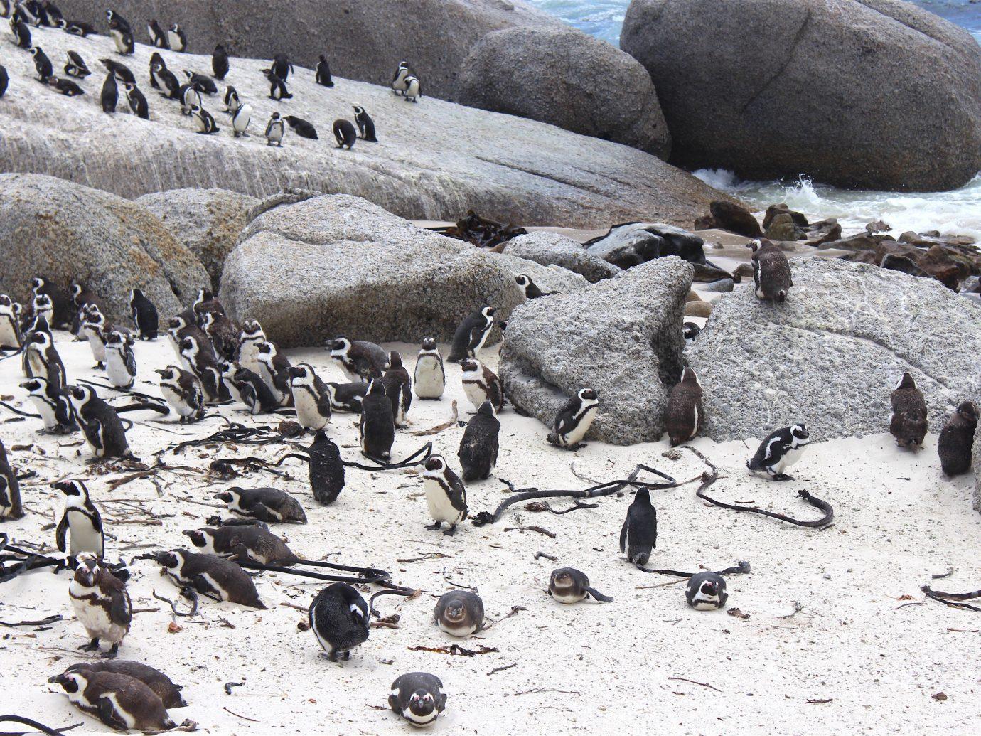 Outdoors + Adventure Safaris Trip Ideas ground outdoor rock flightless bird Bird penguin vertebrate fauna rocky Wildlife flock