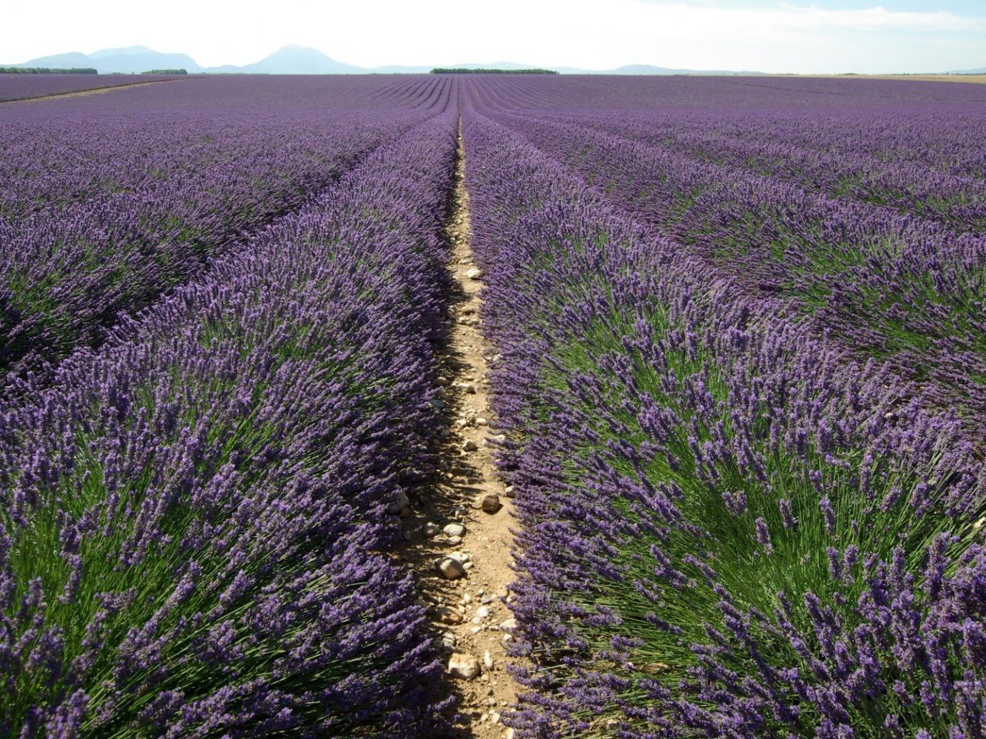 Road Trips Trip Ideas sky outdoor grass english lavender field lavender plant flower crop flowering plant purple agriculture french lavender grass family ecoregion spring prairie landscape meadow seed plant lamiales Farm plantation soil