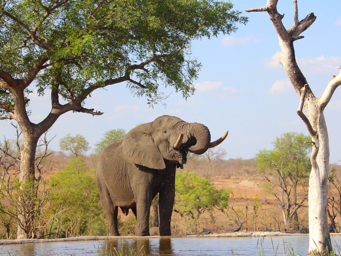 Outdoors + Adventure Safaris Trip Ideas tree elephant outdoor sky animal indian elephant grass mammal Wildlife fauna elephants and mammoths walking standing savanna african elephant Safari outdoor recreation zoo trunk Adventure dirt
