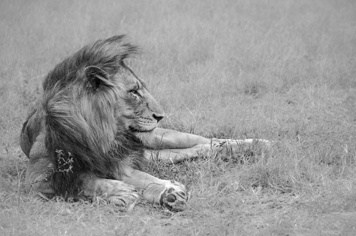 Trip Ideas grass outdoor field animal Lion mammal big cat black and white vertebrate fauna laying mane monochrome photography Wildlife monochrome big cats cat like mammal savanna Dog