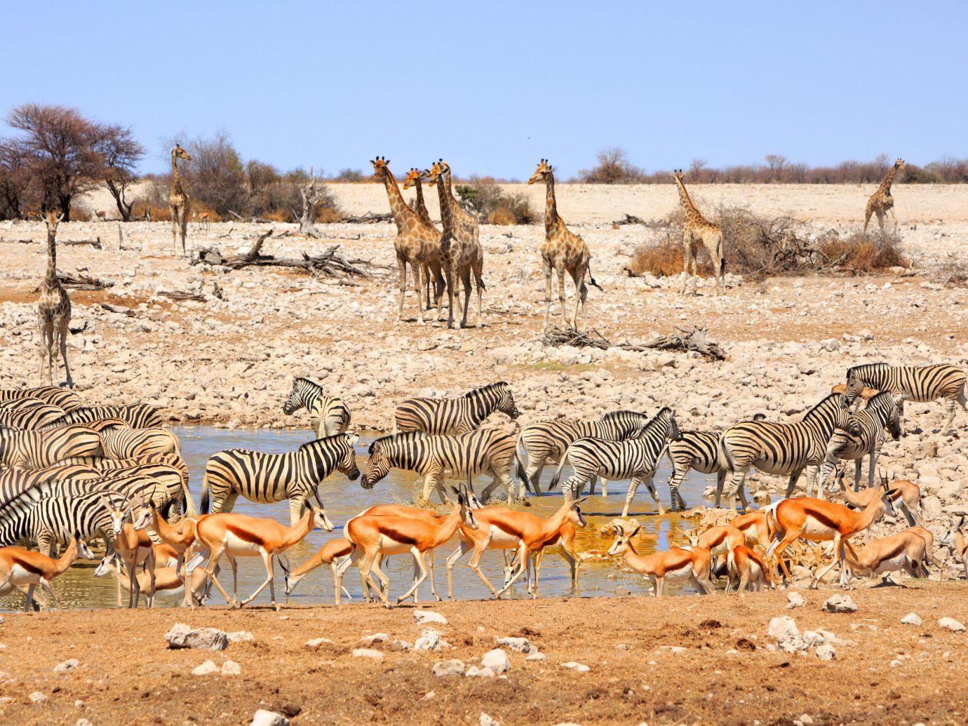 africa Honeymoon Namibia Romance Trip Ideas Wildlife ecosystem herd fauna springbok vicuña savanna ecoregion Safari national park terrestrial animal gazelle grassland prairie shrubland landscape antelope impala animal migration plain