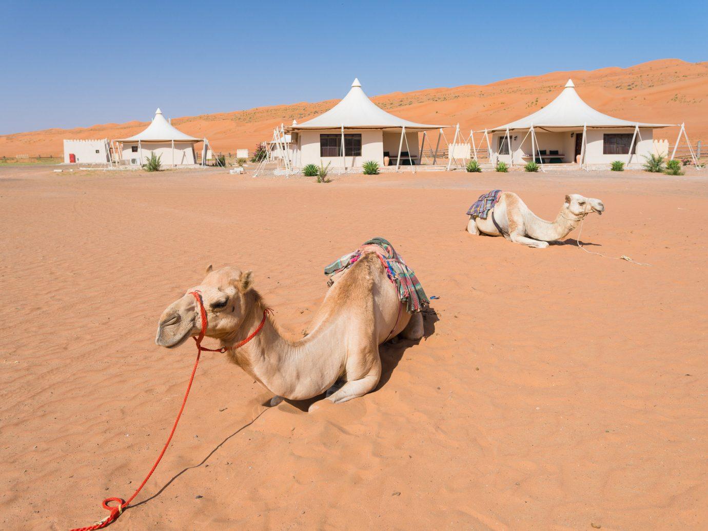 Trip Ideas Camel arabian camel sand camel like mammal erg dune Desert sahara aeolian landform vacation sky landscape ecoregion singing sand