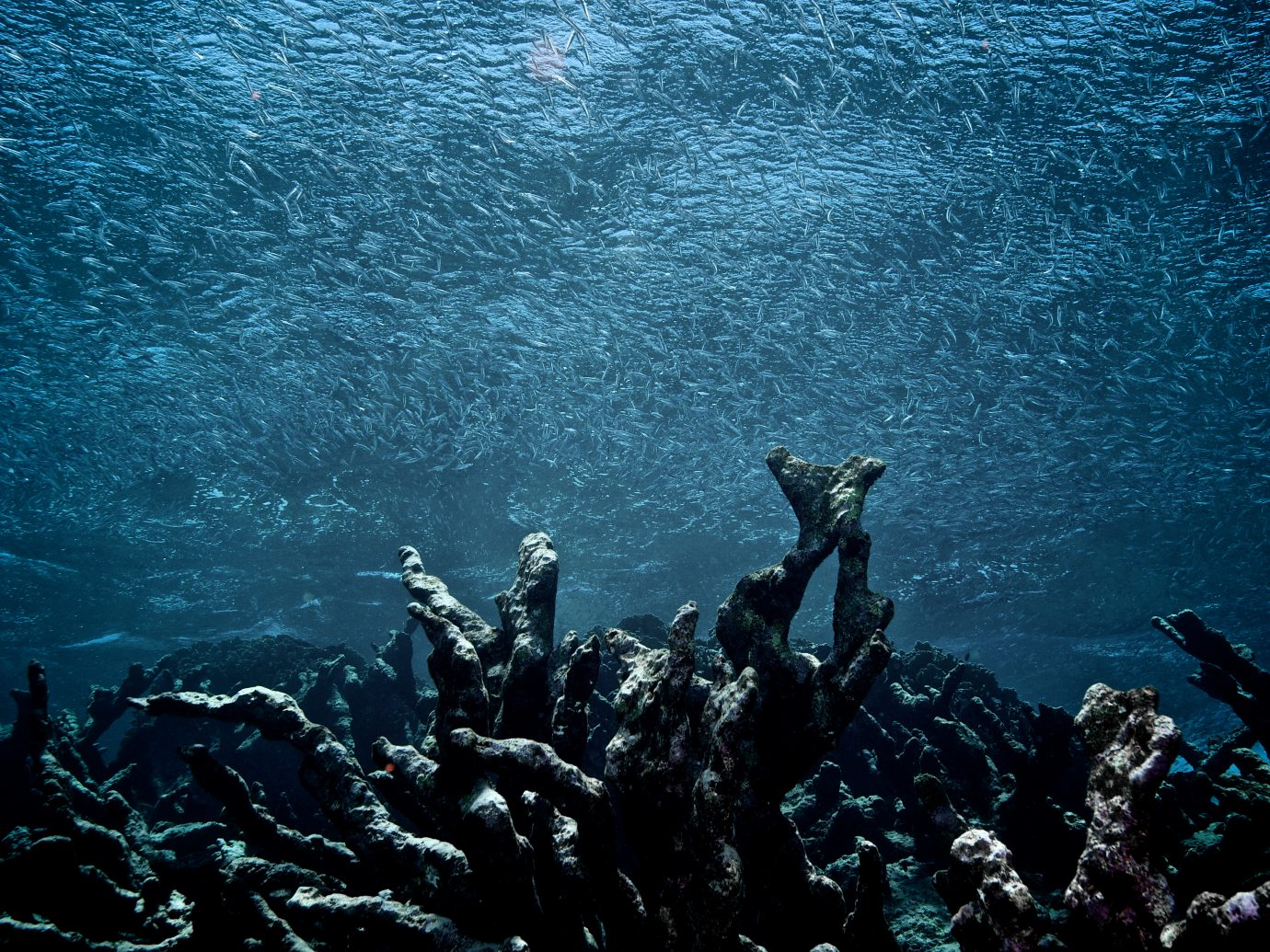 A school of fish swims over a field of dead coral, Los Roques National Park, Venezuela