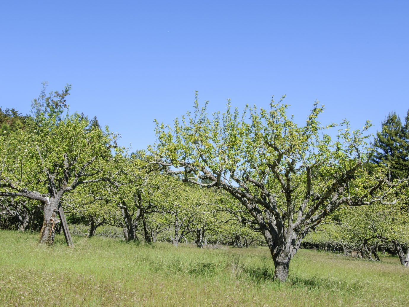 Organic apple orchard in California