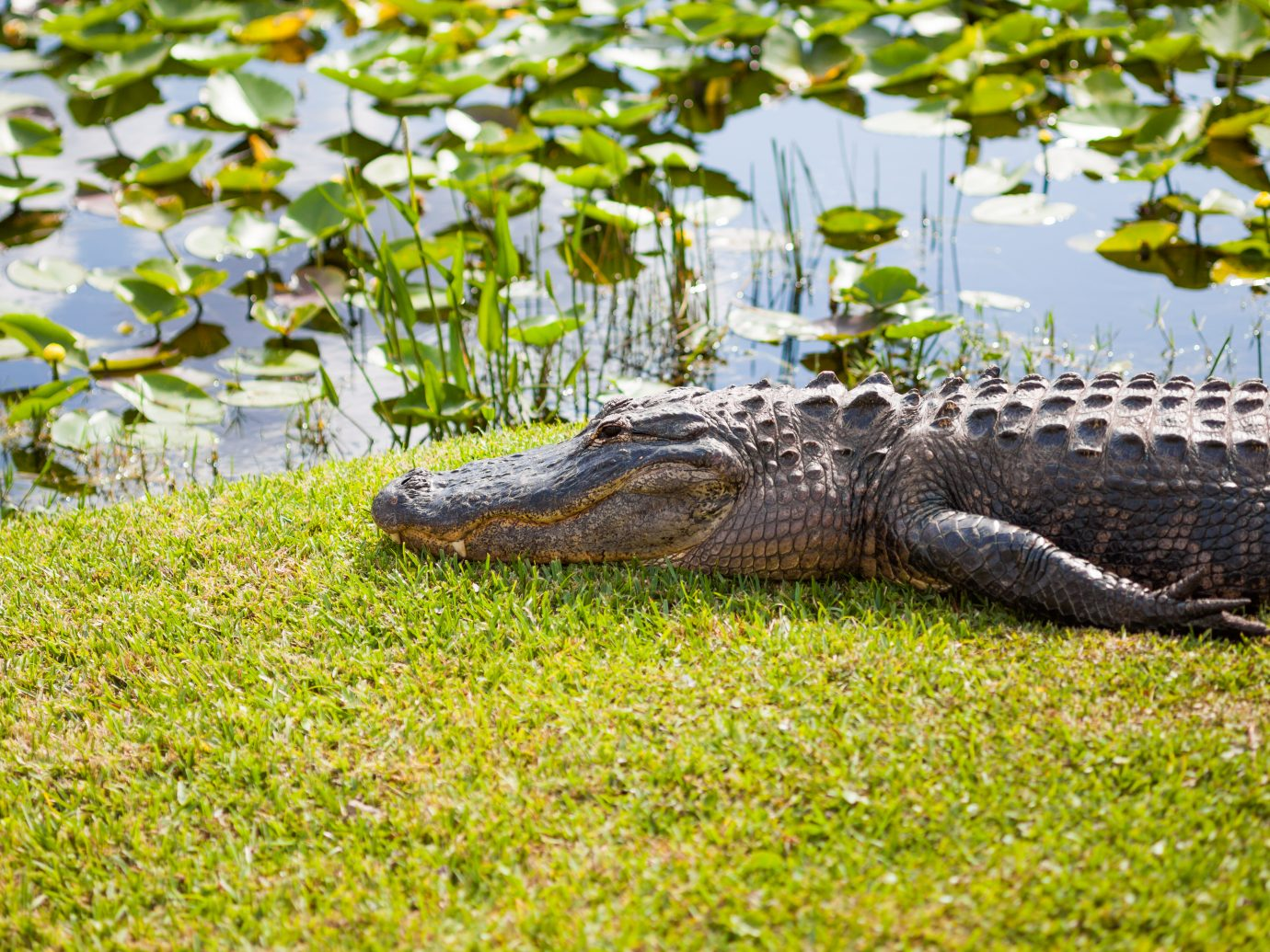 American alligator at the miccosukee's reserve (florida national park)