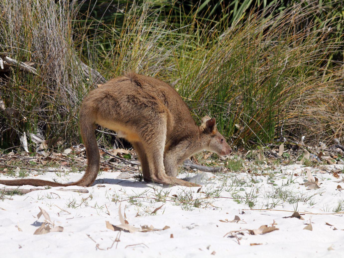 Single Young kangaroo on white sand Jervis Bay