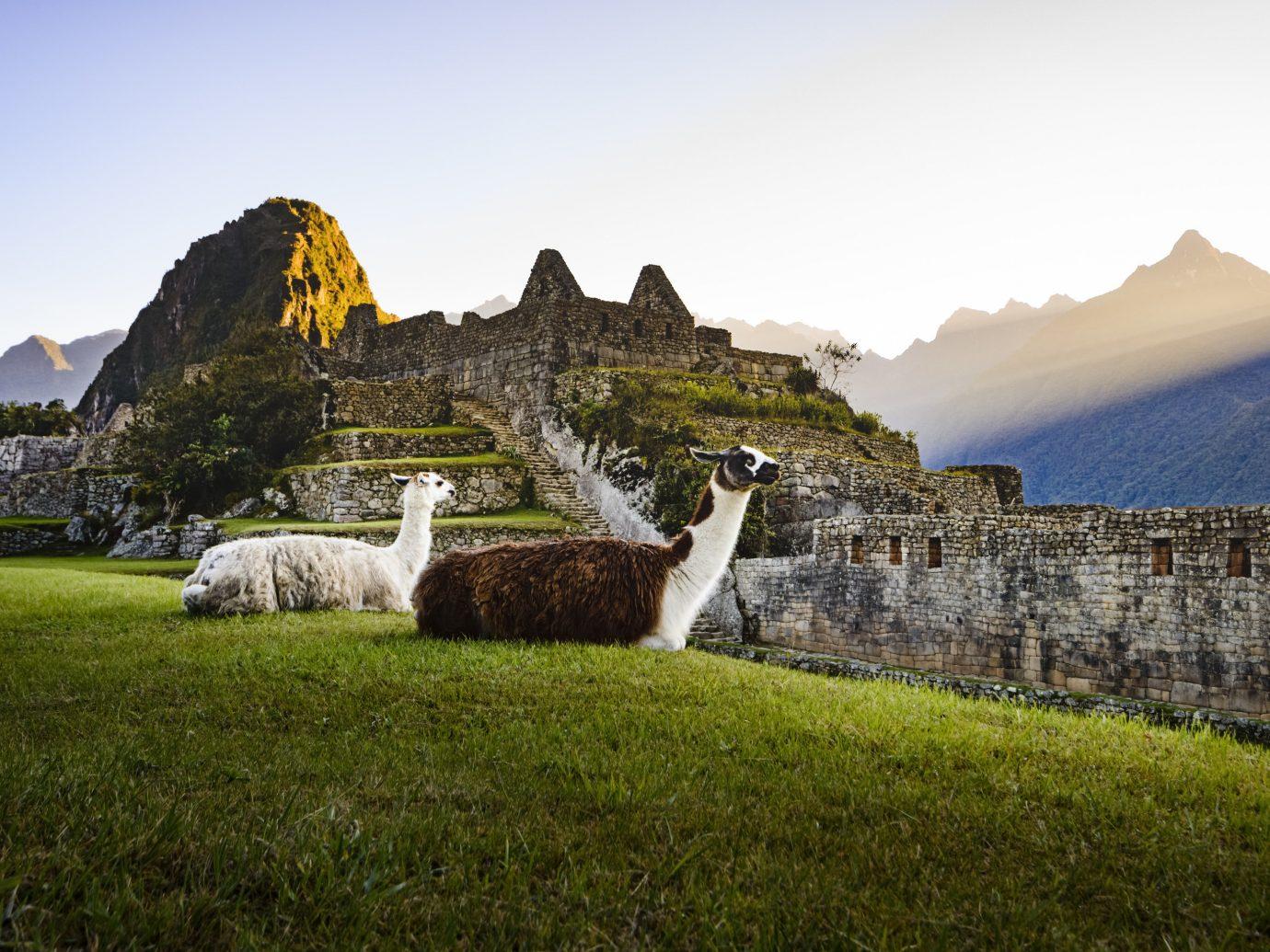 Machu Pichu llamas