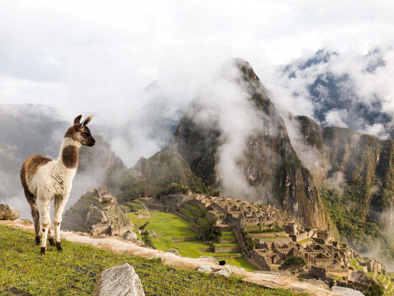Alpaca looking over Machu Picchu