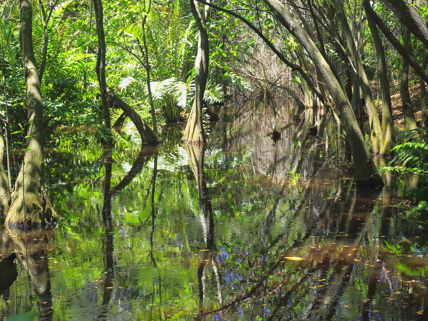 Swamp Wetland Mangrove tropical rainforest, tree trunks and roots Landscape
