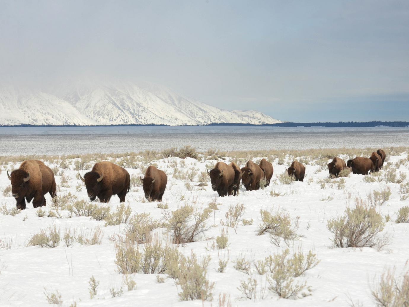 Bison walking through a snowy landscape in Grand Teton