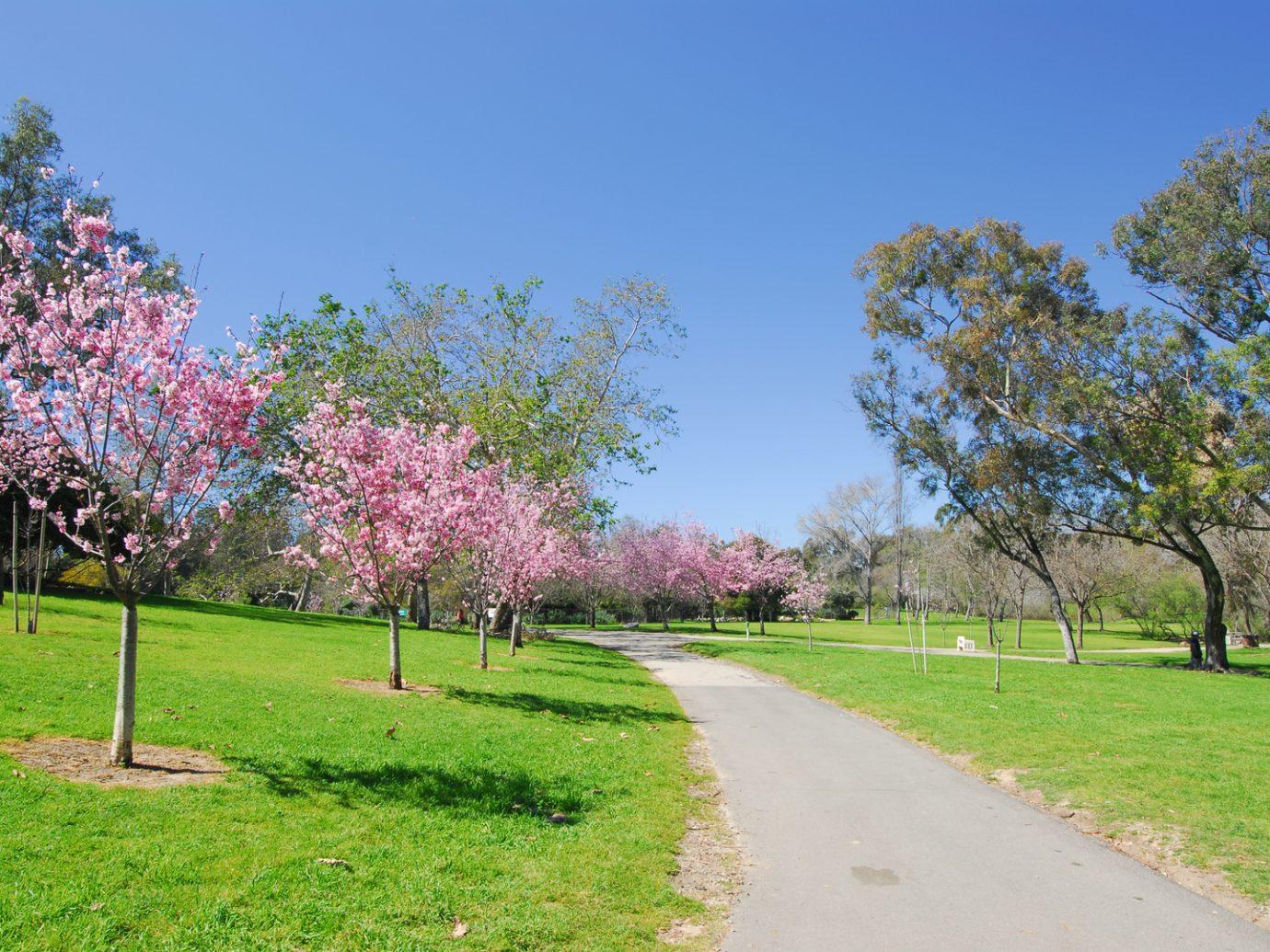 Cherry Blossoms in Huntington Beach
