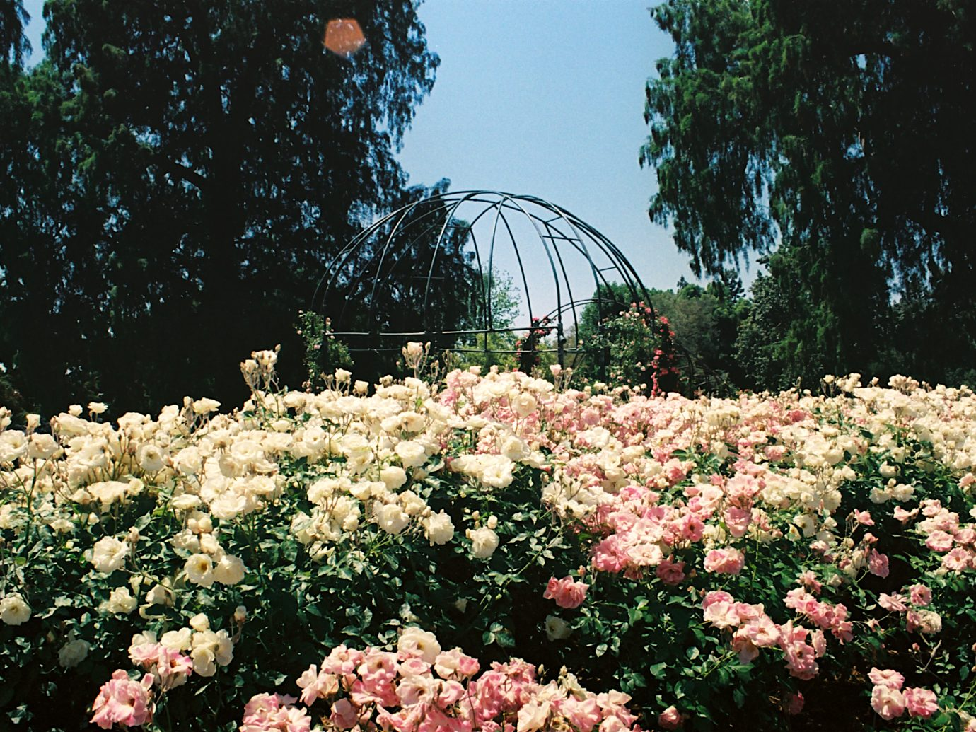 A view of the gazebo at the Huntington Library Rose Garden