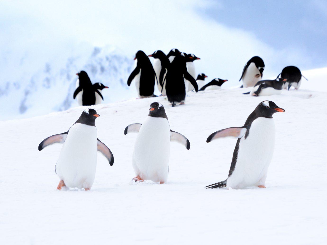 Three Gentoo Penguin Buddies