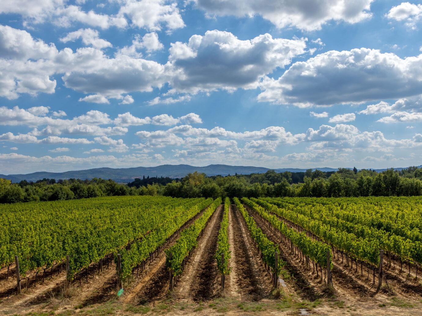 vineyard at Il Borro