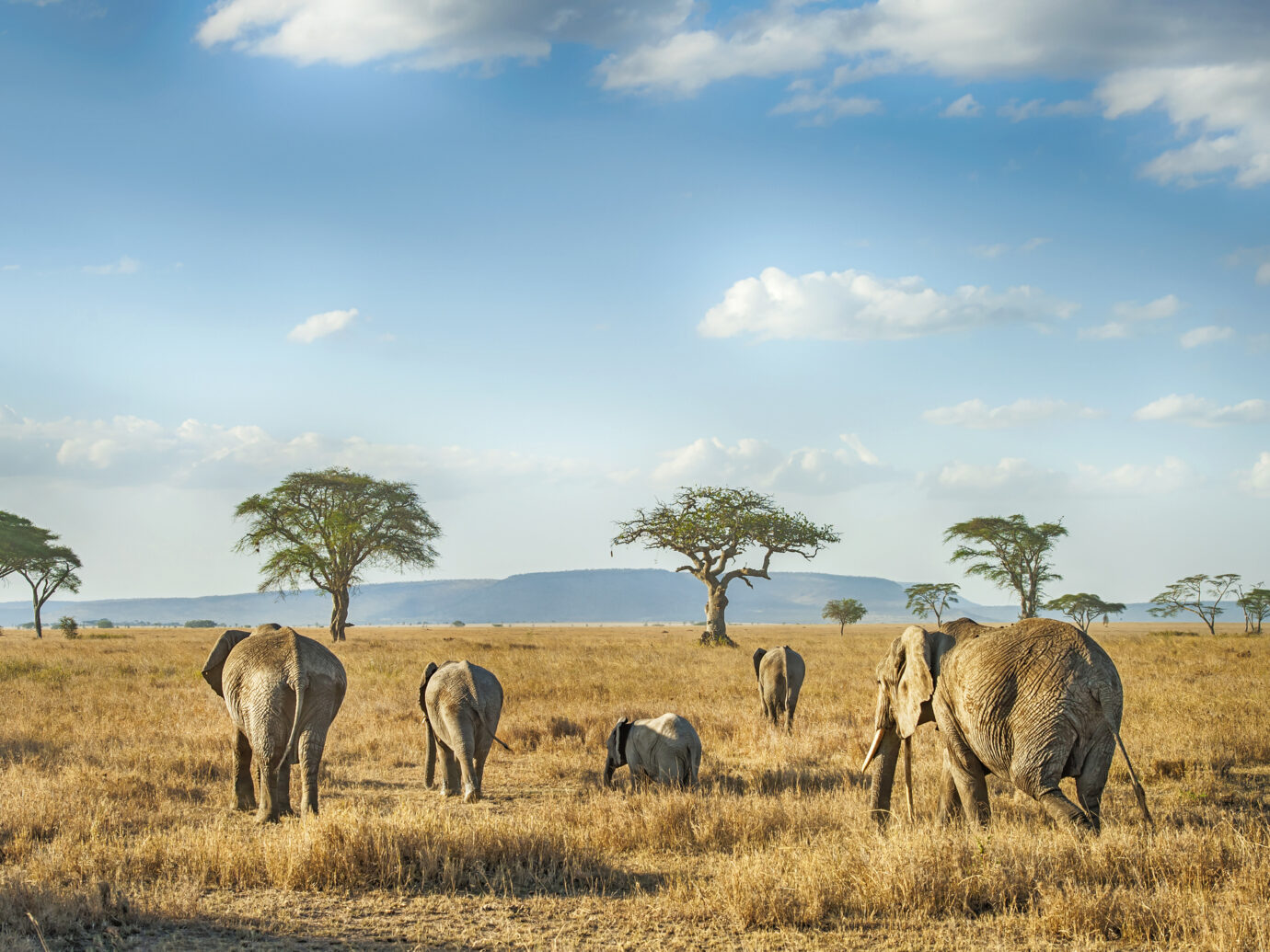 'A small group of African Elephants in different ages is moving in the plains of Serengeti.Location: Serengeti National Park, Tanzania. Shot in wildlife.'