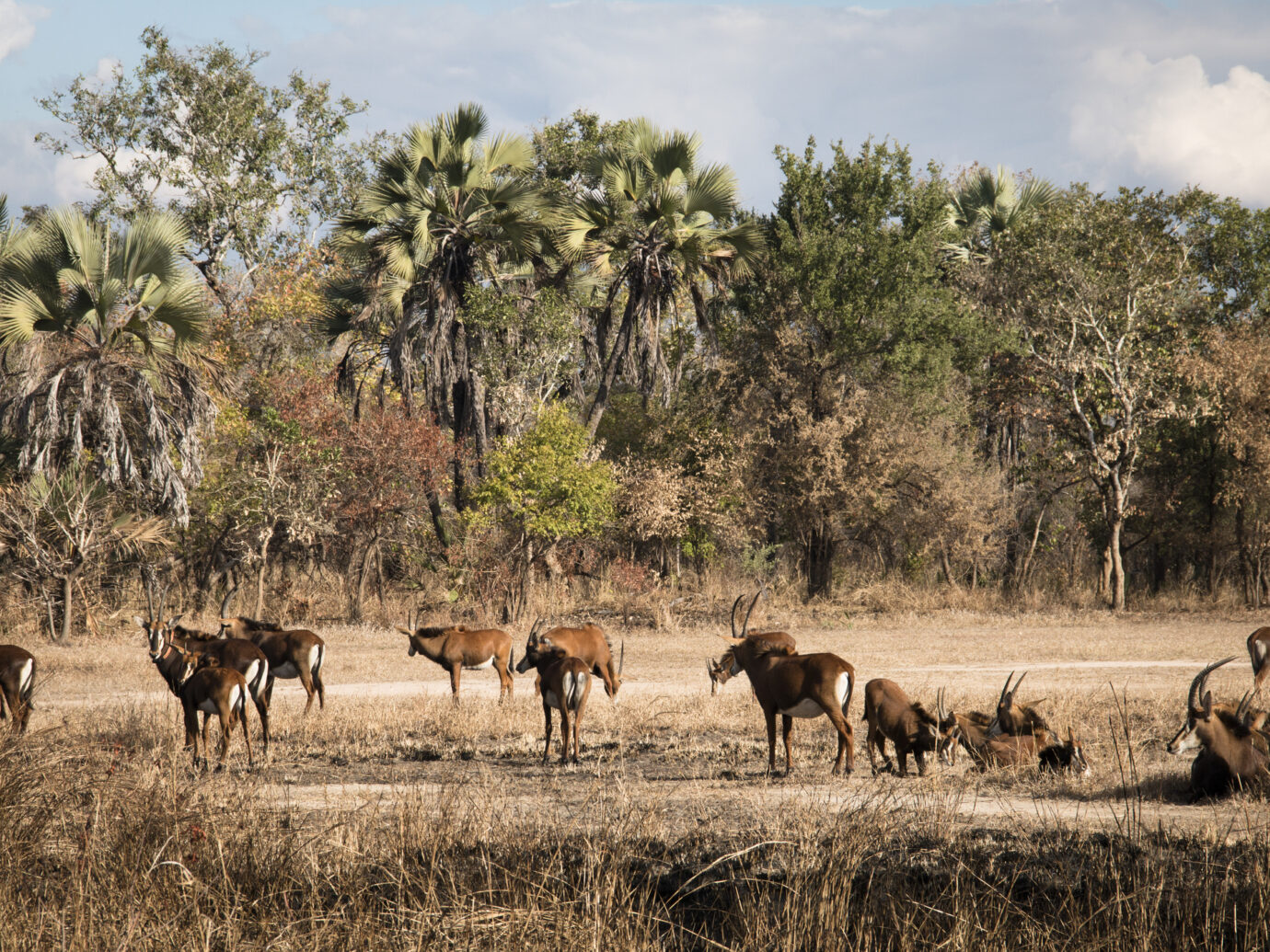 A big group of waterbuck on the savanna of the National Park Gorongosa in the center of Mozambique